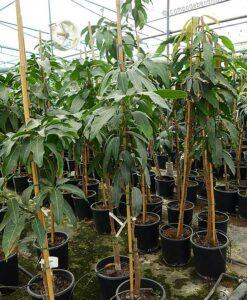 Árbol de mango Keitt grande con 3 años de edad