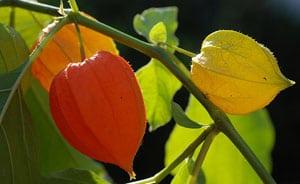 fruta uchuva, alquenqueje o pysalis