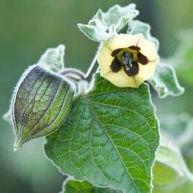 planta de alquequenje con flores