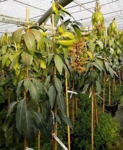 Árbol de mango Keitt con 2 años de edad