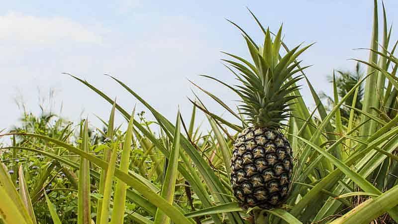 Cómo cultivar piña tropical