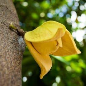 Puedes comprar el árbol de graviola que tenemos en nuestra tienda online