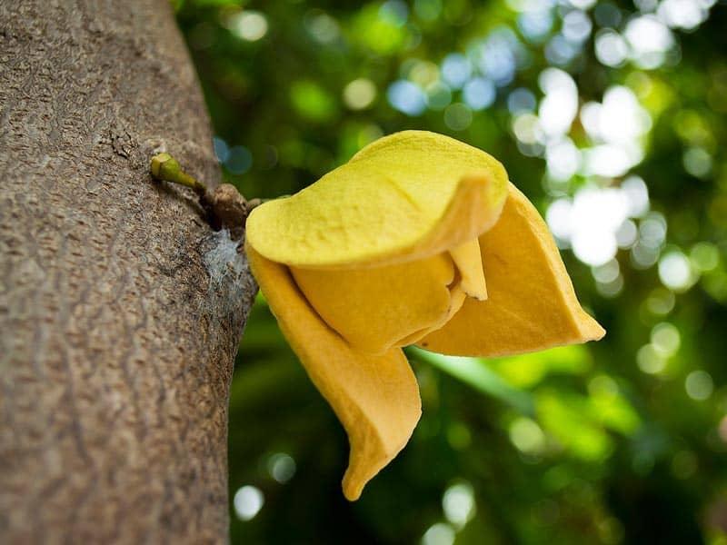 Puedes comprar el árbol de graviola, Annona muricata o guanábana