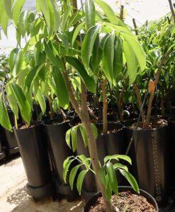 Aquí puedes comprar tu árbol de lichi Wai Chee