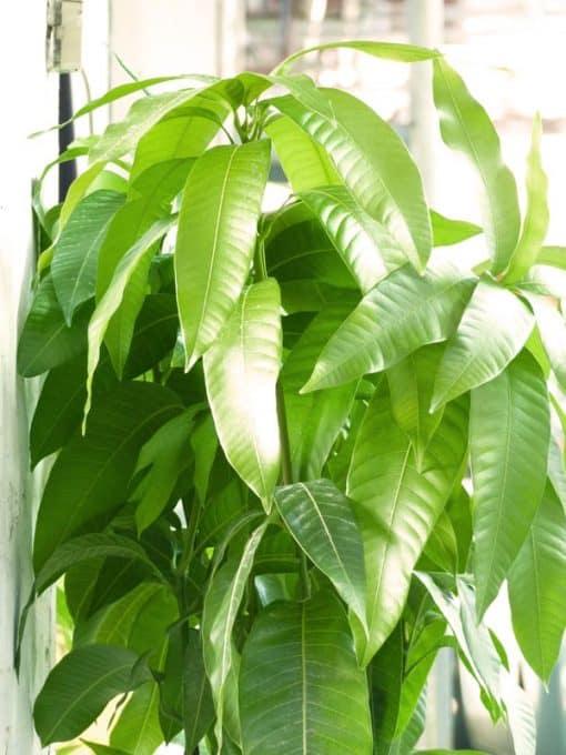 Planta de mango de la variedad Sensación