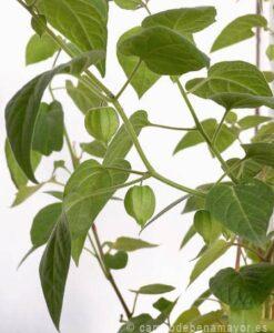 Comprar plantas de physalis