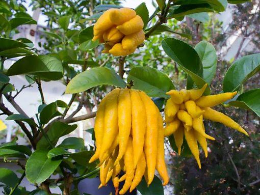 Fruta del árbol mano de Buda