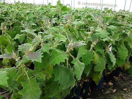 Plantas de lulo para comprar online