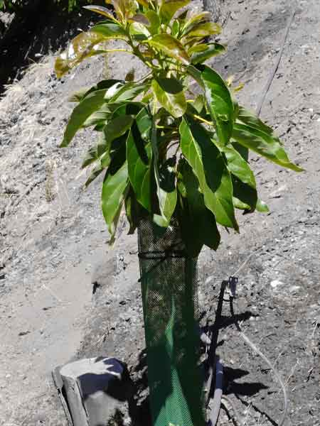 Planta de aguacate con su malla protectora de árboles frutales