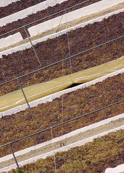 El secado de las Pasas de Málaga en los paseros