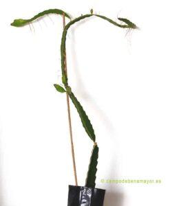 Planta de pitahaya para comprar online