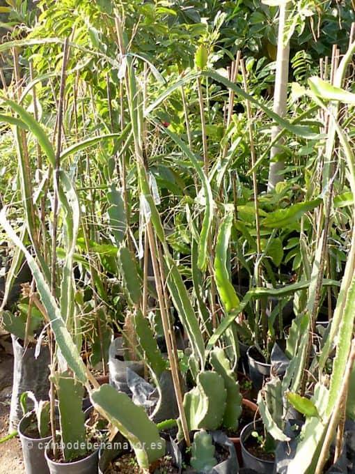 plantas de pitahaya comprar online