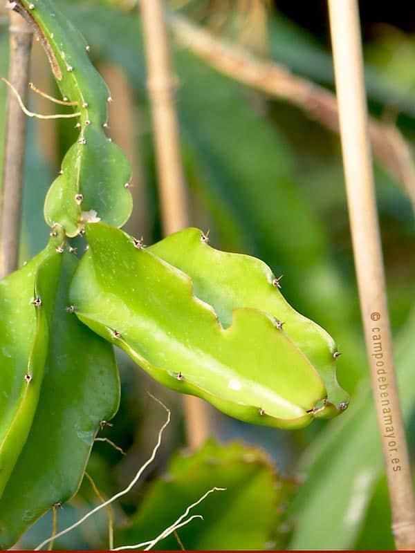 Planta de pitahaya para comprar online campo de benamayor for Donde venden plantas