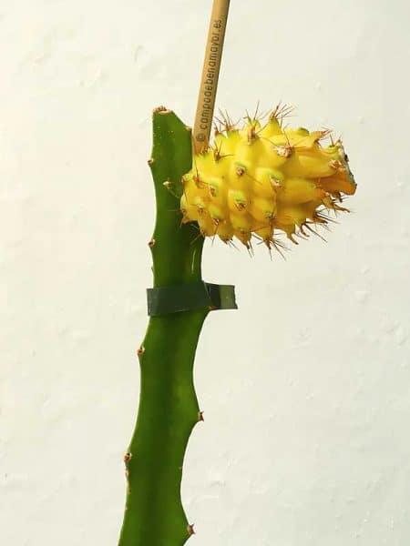 Aquí puedes comprar plantas de pitaya con fruta
