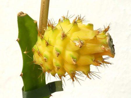 Plantas de pitaya para tu huerto o jardín