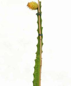 Pitaya amarilla con fruta, para comprar online