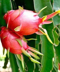 Plantas de pitaya
