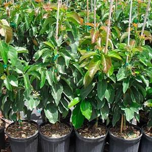 comprar rboles frutales online campo de benamayor On arboles frutales precios