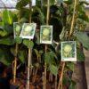 Para comprar online tu planta de chirimoya variedad Fino de Jete