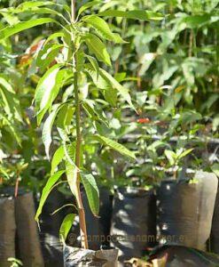 Planta de mango de la variedad Ataulfo