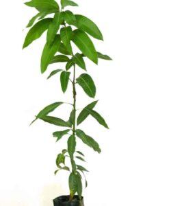 Planta de mango de la variedad Irwin