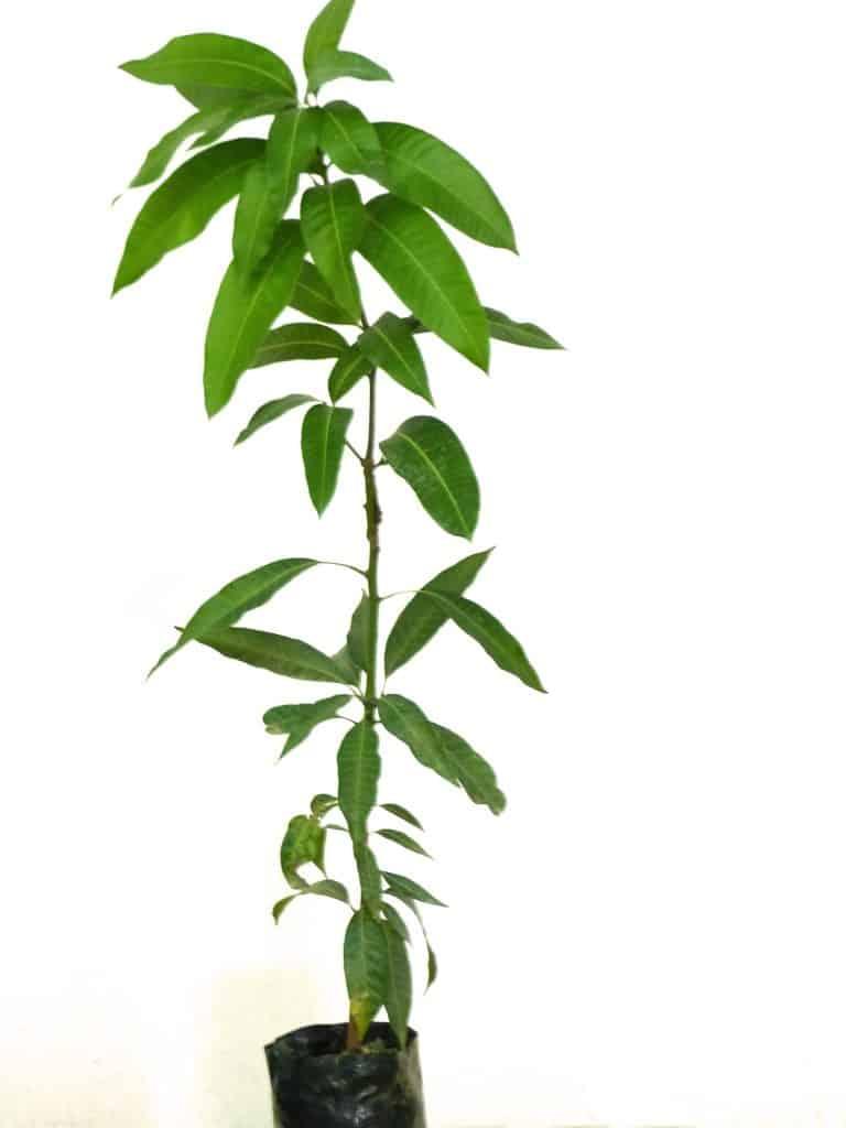 Planta de mango irwin para comprar online campo de benamayor for Plantas para estanques de peces