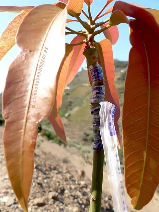 Detalle del injerto en la planta de mango Irwin