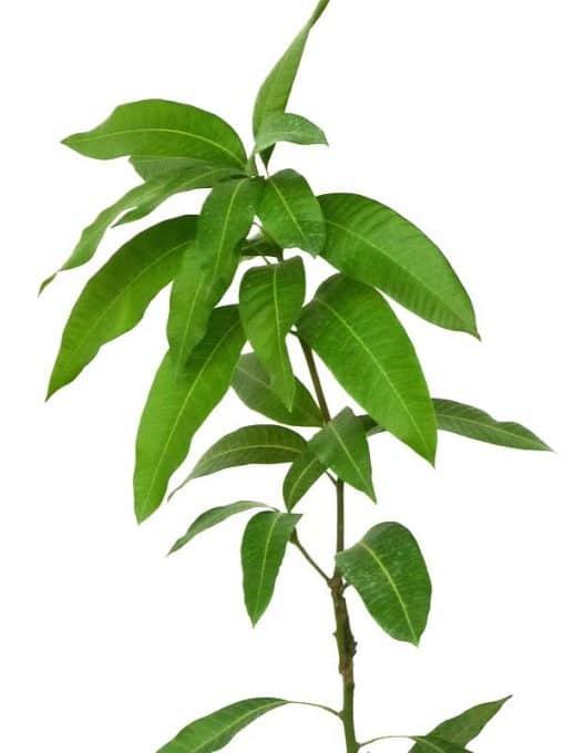 Planta de mango de la variedad Keitt