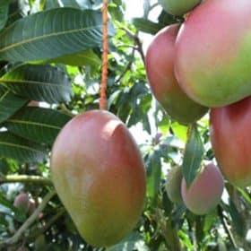 Fruto de la planta de mango Keitt