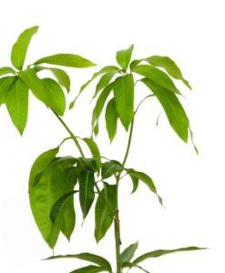 Planta de mango de la variedad Osteen