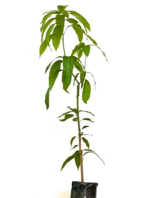 Planta de mango Sensation