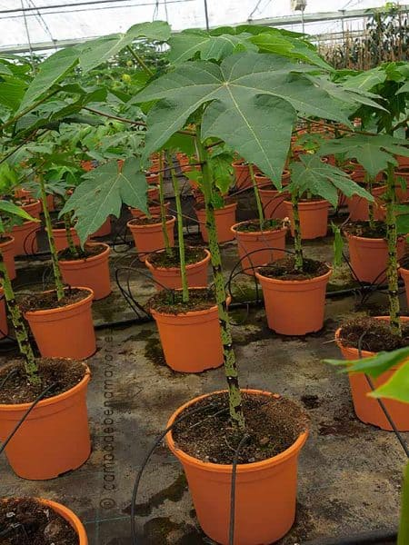 Planta de papaya Caballero en maceta