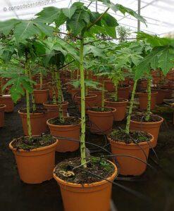 Plantas de papaya Intenzza