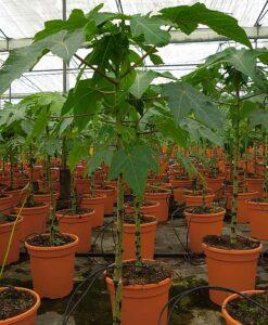 Planta de papaya Maradol para comprar online