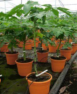Planta de papaya Sweet Sense