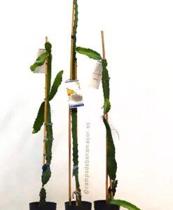 Planta de pitaya Hylocereus megalanthus (amarilla) para comprar online