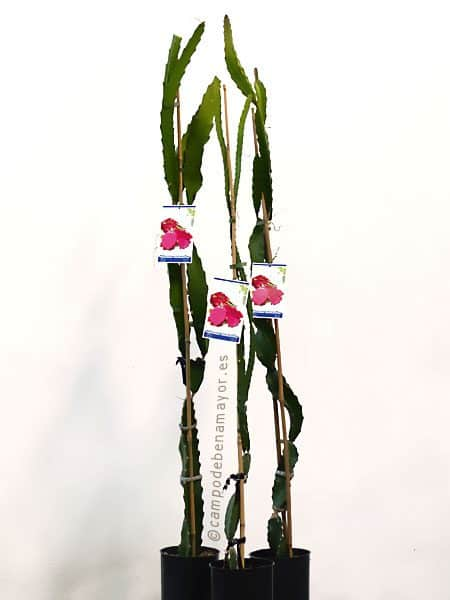 Planta de pitahaya roja JC01 para comprar online