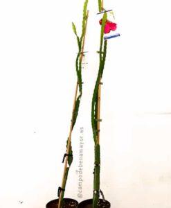 Planta de pitaya roja JC02 para comprar online