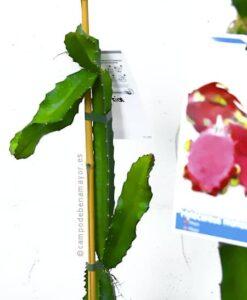 Planta de pitahaya American Beauty para comprar online