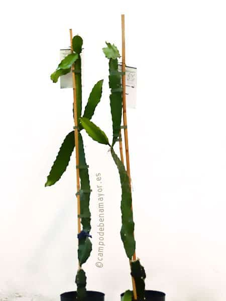 Plantas de pitahaya variedad Costa Rica para comprar online