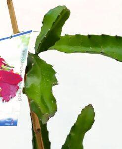 Planta de pitahaya de la variedad Hylocereus hybridum