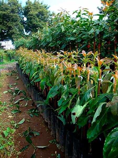 Planta de aguacate mejorada variedad Jiménez 2