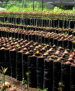 Planta de selección mejorada de aguacate Jiménez 2