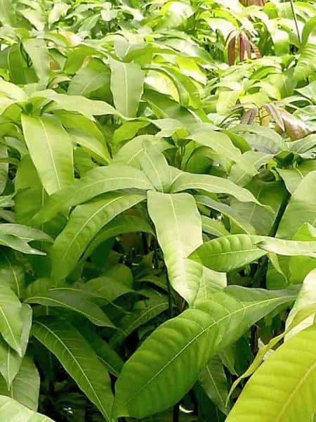 Plantones de mango Gomera 3. Plantas de mango para injertar