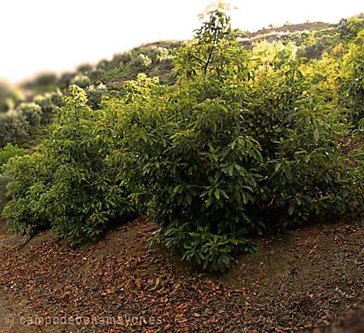 Propiedades del aguacate, la planta