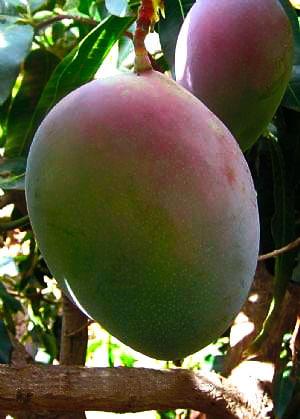 Propiedades del mango Keitt