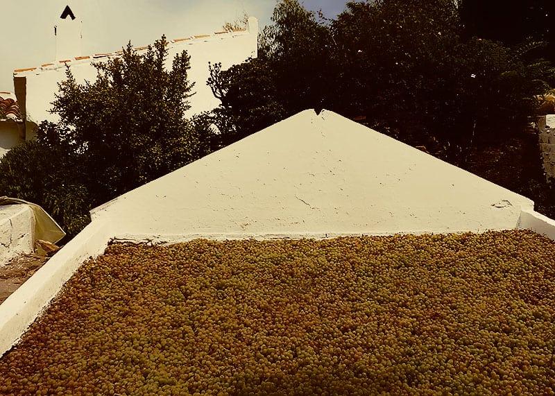 Secado de uvas Moscatel de Málaga