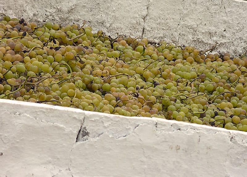 Secado de uvas Moscatel en Málaga