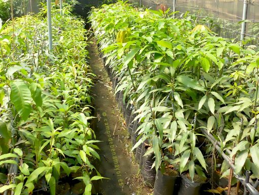 Planta de mango de la variedad Sensation