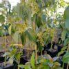 Árbol de aguacate Zutano 2 años en maceta 12 L